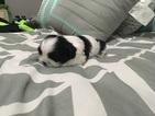 Shih Tzu Puppy For Sale in HIALEAH, FL, USA