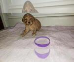Small Photo #1 Goldendoodle Puppy For Sale in FROSTPROOF, FL, USA