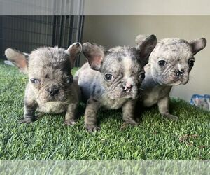 French Bulldog Puppy for sale in SAN DIEGO, CA, USA