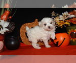 Small #18 Poodle (Toy)