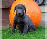 Small Photo #3 Labrador Retriever Puppy For Sale in FREDERICKSBG, OH, USA