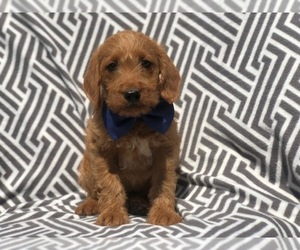 View Ad Miniature Labradoodle Puppy For Sale Near