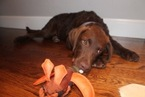 Chesapeake Bay Retriever Puppy For Sale in NORMAN, OK, USA