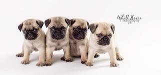 Pug Puppy for sale in ROXBORO, NC, USA