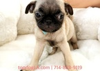 Pug Female Fifi