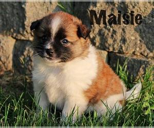 Rat Terrier Puppy for sale in HESPERIA, MI, USA