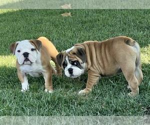 Bulldog Puppy for Sale in NORCO, California USA
