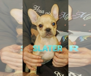 French Bulldog Puppy for Sale in CROWLEY, Texas USA