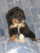English Shepherd Puppy For Sale in EPHRATA, PA, USA