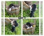 Puppy 6 Basset Hound
