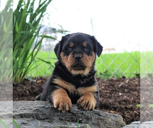 Rottweiler Puppy for sale in LITITZ, PA, USA