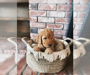 Goldendoodle Puppy for Sale in CAMINO, California USA