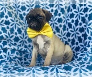 Pug Puppy for sale in LAKELAND, FL, USA