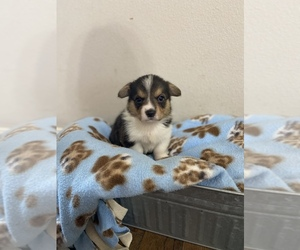 Pembroke Welsh Corgi Puppy for sale in FARMINGTON, AR, USA