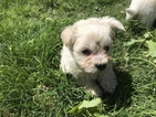 Havanese Puppy For Sale in GRAND PRAIRIE, TX, USA