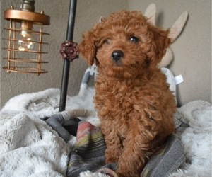 Poodle (Toy) Puppy for sale in HONEY BROOK, PA, USA