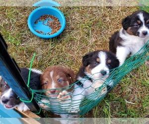 Australian Shepherd Puppy for sale in CORPUS CHRISTI, TX, USA