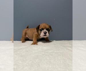 English Bulldog Puppy for sale in REVERE, MA, USA