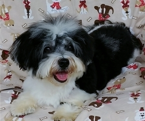 Havamalt Puppy for Sale in WINSTON SALEM, North Carolina USA