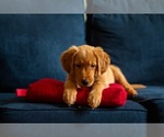 Small Photo #2 Golden Retriever Puppy For Sale in PACE, FL, USA