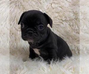 French Bulldog Dog for Adoption in CHARLESTON, South Carolina USA