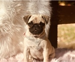 Small Photo #2 Pug Puppy For Sale in CANTON, CT, USA