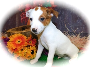 Jack-Rat Terrier Puppy For Sale in HAMMOND, IN, USA