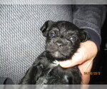 Puppy 3 Poodle (Toy)-Schnauzer (Miniature) Mix