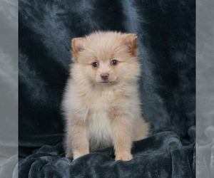 Pomeranian Puppy for Sale in WARSAW, Indiana USA