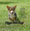 Pembroke Welsh Corgi Puppy For Sale in KIRKSVILLE, Missouri,