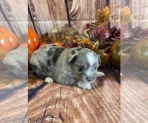 Miniature Australian Shepherd Puppy for sale in LA SALLE, CO, USA