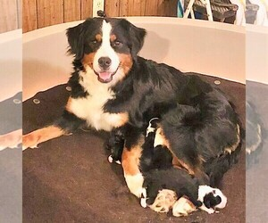 Mother of the Bernedoodle puppies born on 01/05/2021