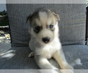 Siberian Husky Puppy for sale in CHICAGO, IL, USA