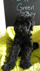 View Ad Schnoodle Giant Litter Of Puppies For Sale Near Alabama