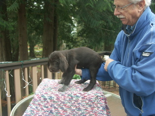 German Wirehaired Pointer Puppy For Sale in ANACORTES, WA