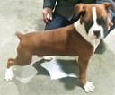 Boxer Puppy For Sale in TUSCOLA, Illinois,