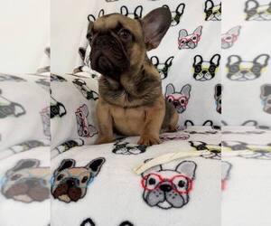 French Bulldog Puppy for sale in METUCHEN, NJ, USA