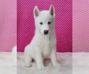 Siberian Husky Puppy for Sale in WARREN, Massachusetts USA