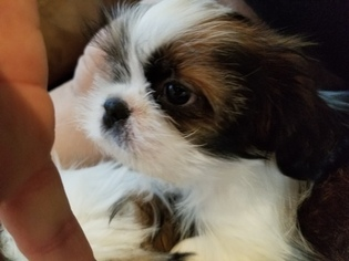 View Ad Shih Tzu Puppy For Sale Washington Olympia Usa