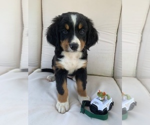 Bernese Mountain Dog Puppies For Sale Near Quincy Ohio Usa