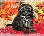 Puppy 5 Bernedoodle-Poodle (Miniature) Mix