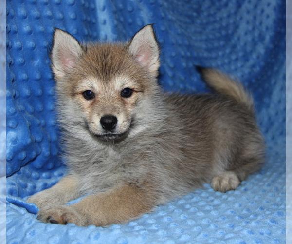 Medium Photo #5 Pomsky Puppy For Sale in DENTON, TX, USA