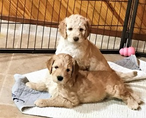Goldendoodle Puppy For Sale in JACKSONVILLE, FL