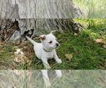 Puppy 1 West Highland White Terrier