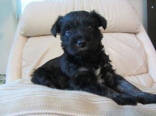 Schnauzer (Miniature) Puppy for sale in HIGHLAND VILLAGE, TX, USA
