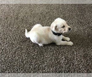 Goberian-Golden Labrador Mix Puppy for Sale in ROSSVILLE, Indiana USA