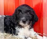 Puppy 4 Goldendoodle-Irish Doodle Mix