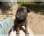Small #4 Dutch Shepherd Dog