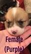 Pembroke Welsh Corgi Puppy For Sale in NEVADA, MO, USA