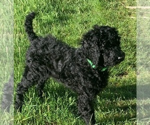 Poodle (Standard) Puppy for Sale in MIDDLEBORO, Massachusetts USA